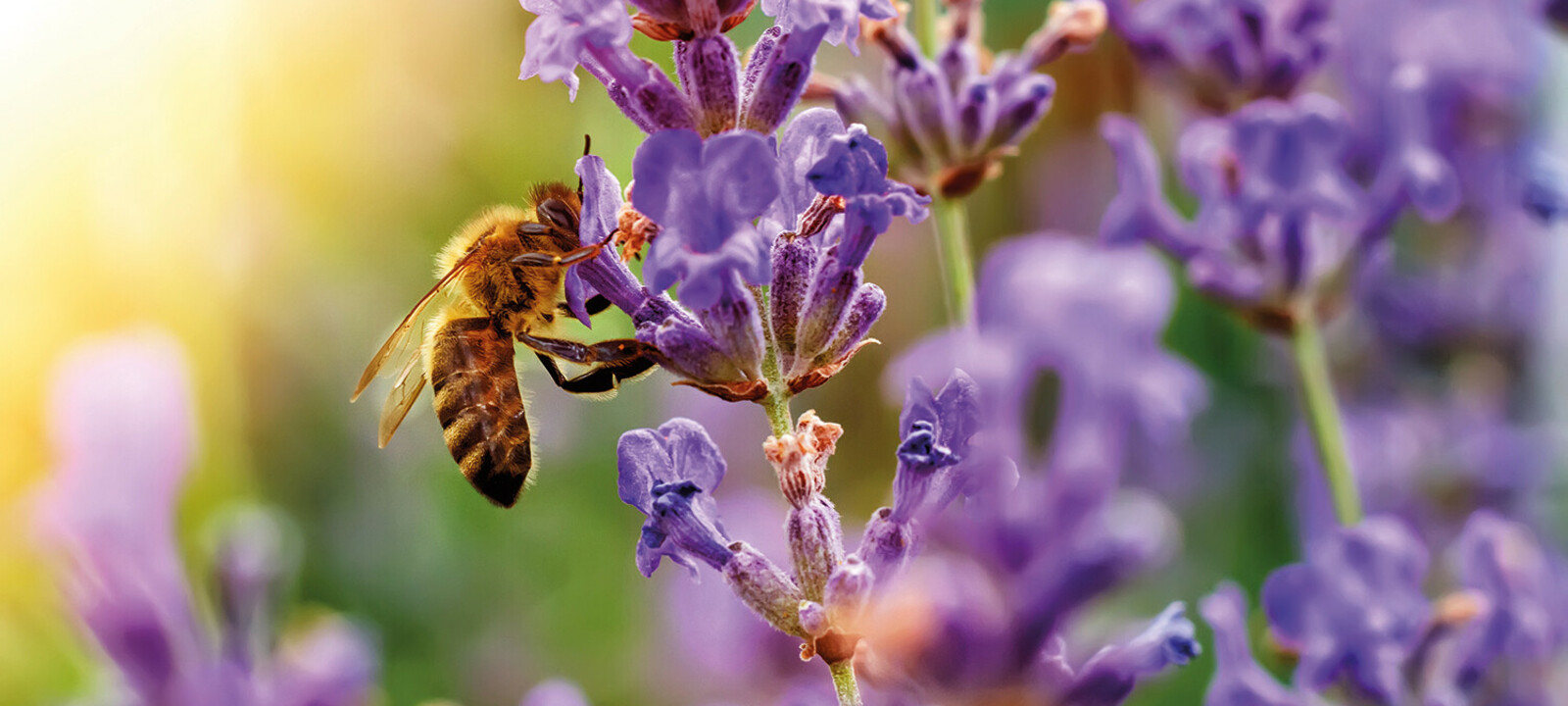 Lavendel Bienen